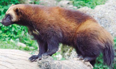 El Glotón, un animal controvertido