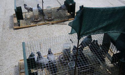 Campaña periódica de control de palomas en Boadilla