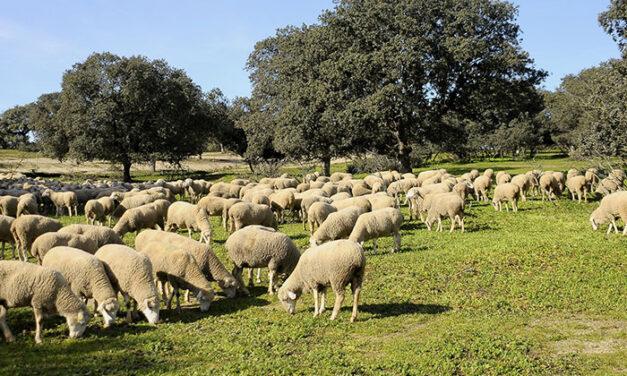 Seiscientas «ovejas bombero» pastan ya en Boadilla para prevenir los incendios